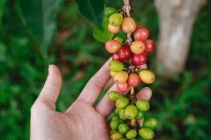 Papua New Guinea Cherries
